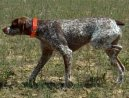 Psí plemena:  > Belgický ohař (Belgian Shorthaired Pointer)